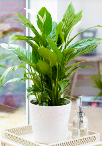homebase indoor plants with low Maintenance