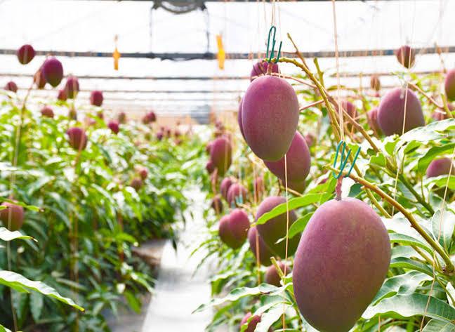 Costliest japanese mango